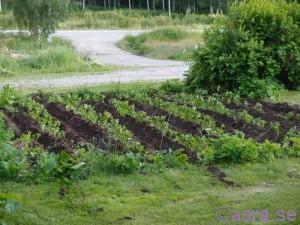 potatisland
