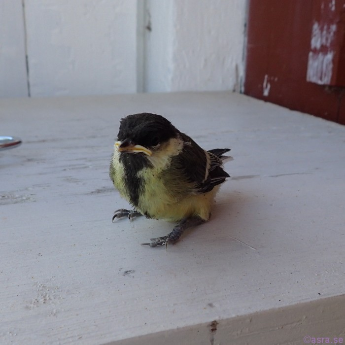 En liten talgoxeunge som blev trött, landade på vår bro!